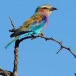Botswana bird kalahari