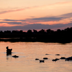 Hippopotamus yawning in Okavango Delta
