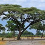 acacia okavango
