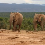 addo national park elefanti 1