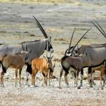 antilopi etosha 1