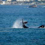 balena hermanus 1