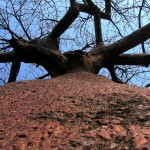 baobab tsumque