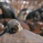 cape cross foca dorme