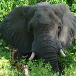 caprivi elefante arriva