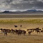 cavalli selvaggi del deserto luderitz 1