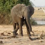 chobe elefante mi sto riposando