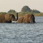 chobe elefanti 2