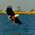 chobe fish eagle pesca