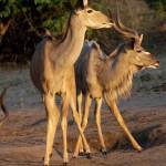 chobe kudu 1