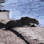chobe leopardo 1