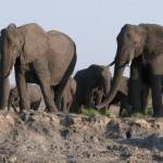 elefanti chobe 2