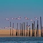 fenicotteri a pelican point