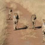 ghepardo 3