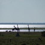 giraffe etosha 2