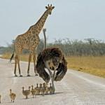 giraffe etosha 4