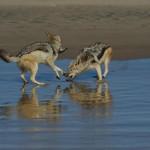 jackal sulla spiaggia a pelican point
