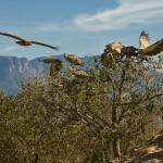 kruger condor