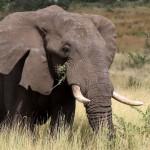 kruger elefante 1