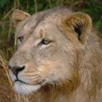 kruger leone 1