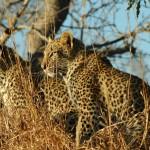 kruger leopardi