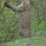 kruger leopardo 1