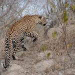 kruger leopardo 2