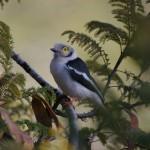 kruger uccellino 1