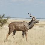 kudu etosha 1