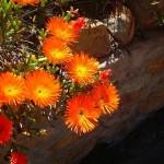 kysna fiori