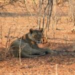 leone chobe