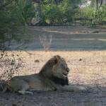 leone nel Parco Mamili Caprivi
