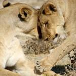 leoni etosha 5 bella