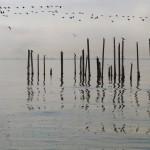 migrazioni a pelican point