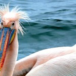 pellicano a walvys bay