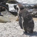 pinguino solo