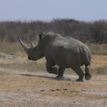rinoceronte etosha 2