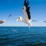 walvys bay pellicano cibo
