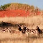 zebre kalahari
