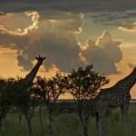 giraffe-etosha-5