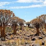 quiwer-tree-namibia-keetmanshop